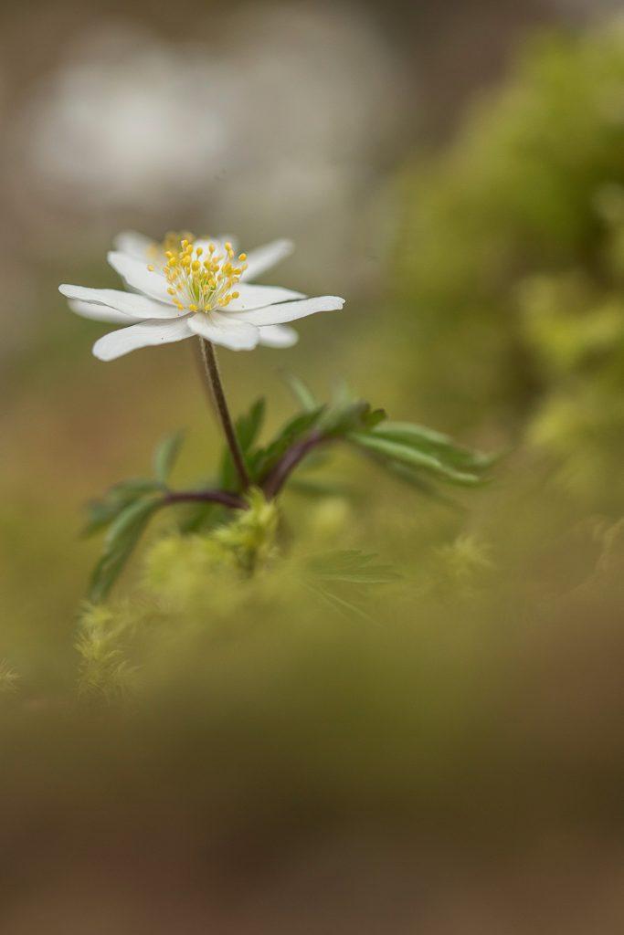 Anémone des bois (Anemone nemorosa). Auvergne. Puy de Dôme. © Y Martin 2018