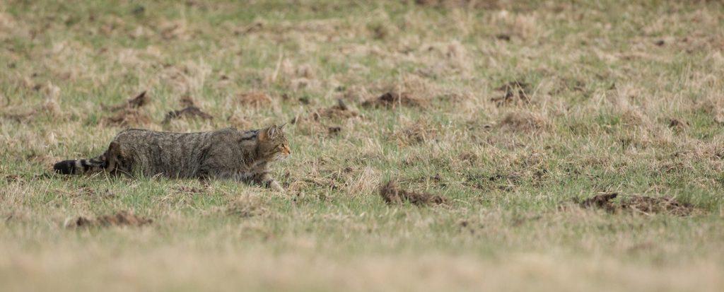 Chat forestier (felis silvestrice). Auvergne. Puy de Dôme. © Yvan Martin 2018.