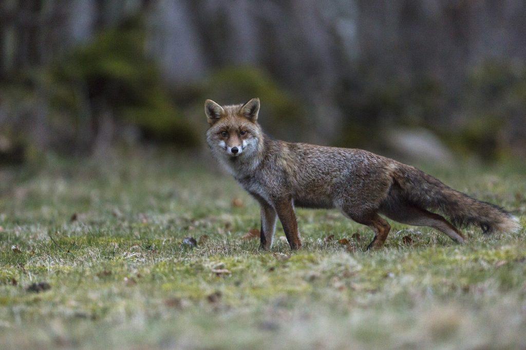 Renard roux (vulpes vulpes). Auvergne Puy de Dôme. © Yvan Martin 2019