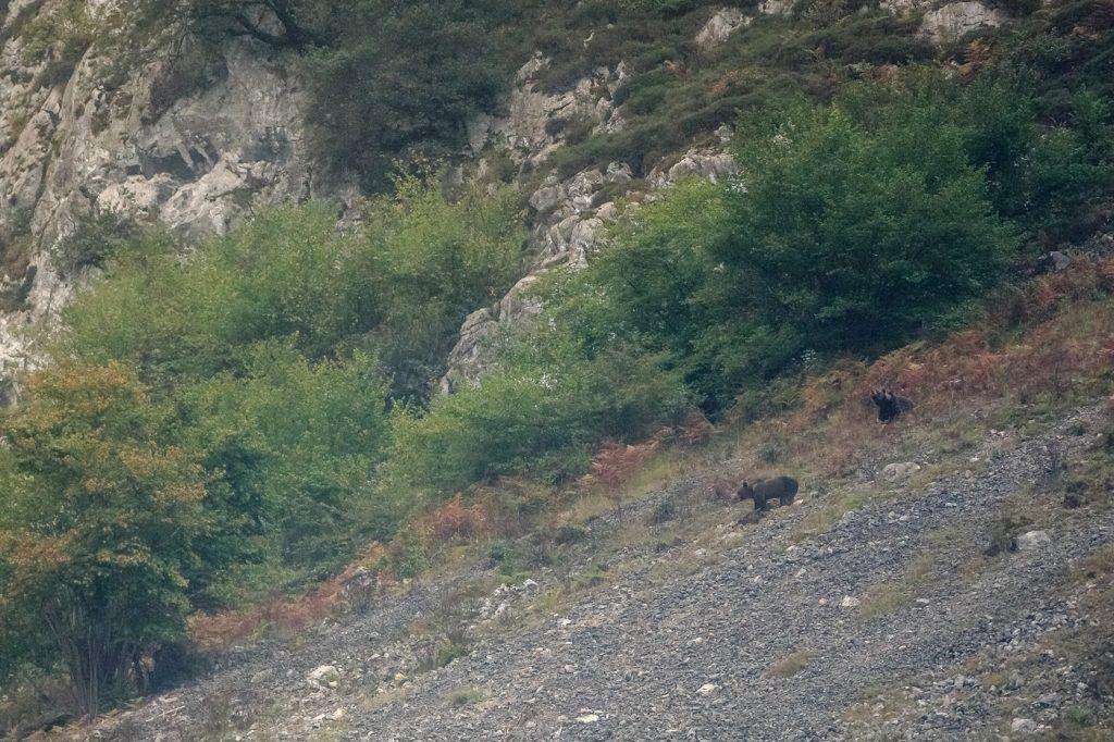 Ours brun (ursus arctoc). Cordillière Cantabriques Yvan Martin