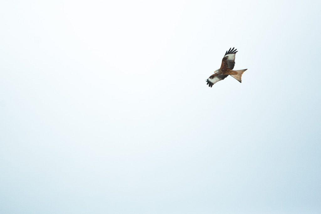 Milan Royal (milvus migran). Auvergne-Puy de Dôme. © Yvan Martin 2019