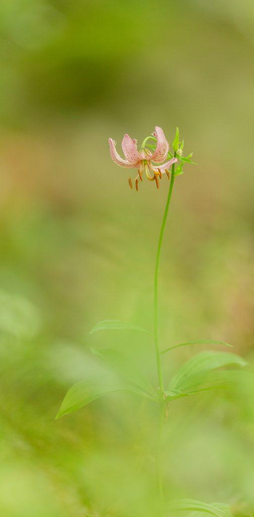 Le Lis martagon (Lilium martagon). Auvergne. © Yvan Martin 2020