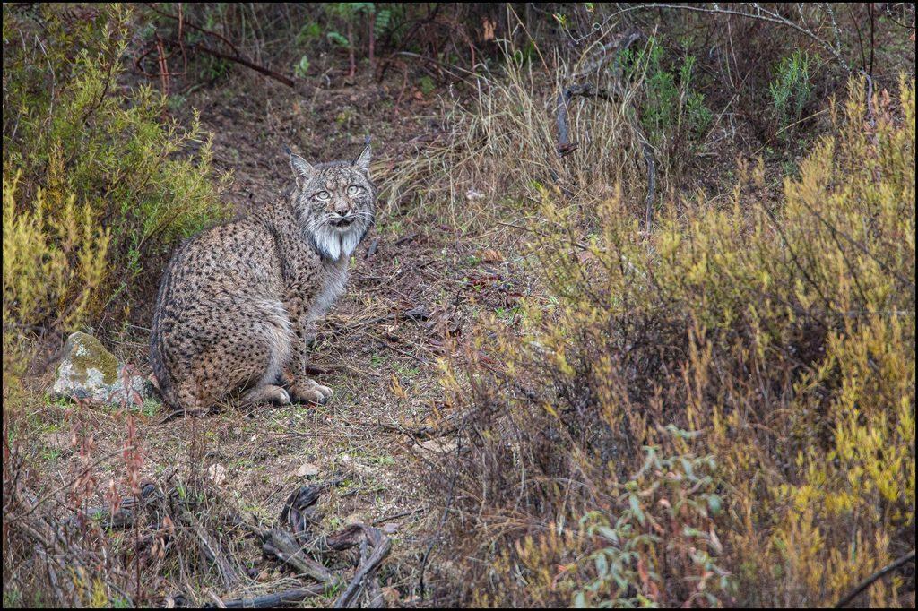 Lynx Pardelle (Lynx pardinus)-© Yvan Martin 2018