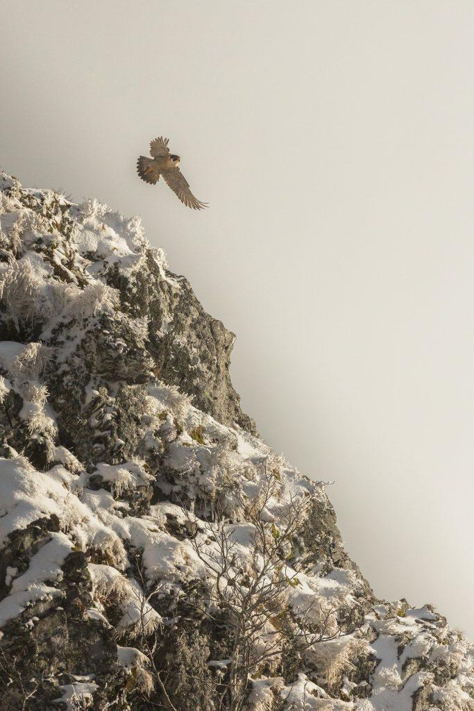 Faucon pèlerin (falco peregrinus)©-Yvan-Martin-2021