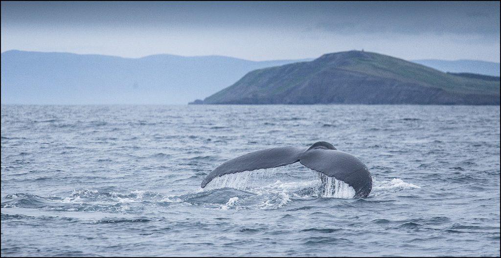 Baleine à bosse (Megaptera novaeangliae) © Yvan Martin 2018