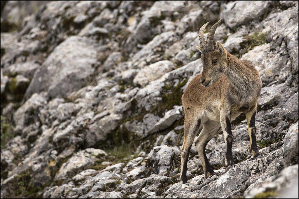 Bouquetin ibérique (Capra pyrenaica). Andalousie . Sierra Grazalema. © Yvan Martin 2019