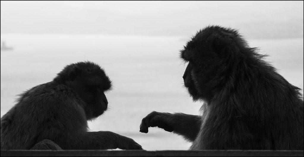 Macaque de Barbarie (Macaca sylvanus). Gibraltar. © Yvan Martin 2019