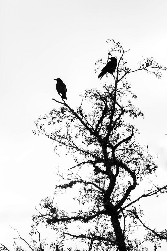 Corneille noire (corvus corax).Auvergne. Cantal© Y Martin 2020
