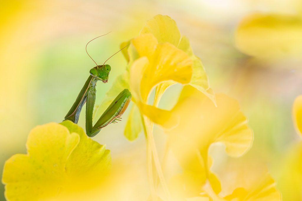 Mante religieuse (Mantis religiosa). Auvergne. Puy de Dôme.© Y Martin 2020